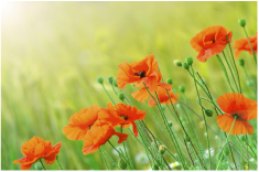 Burial At-need poppy field arranging immediate need for burial